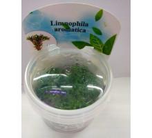 Лимнофила ароматика (Limnophila aromatica)