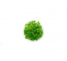 Линдерния круглолистная узорчатая (Lindernia rotundifolia variegated)
